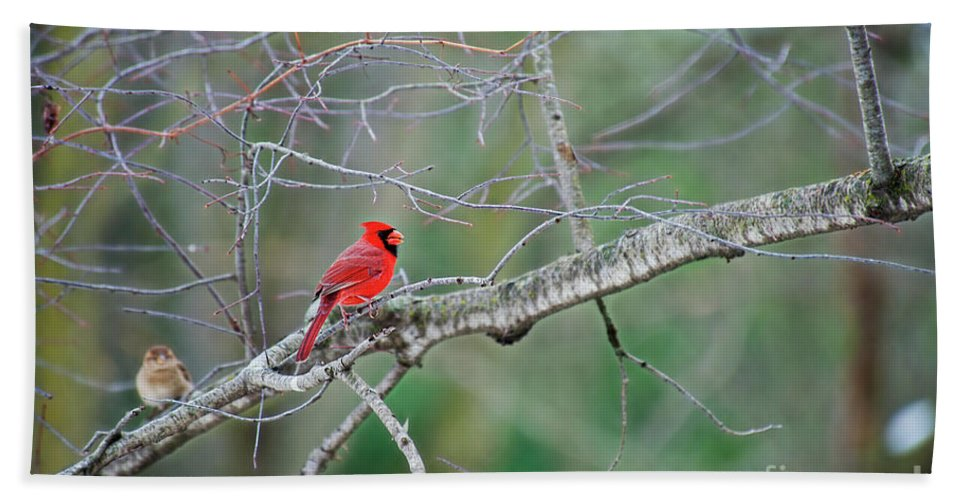 Small Birds Bath Sheet featuring the photograph Male Cardinal by David Arment