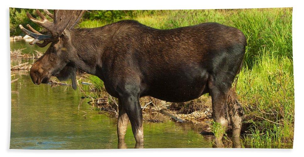 Bull Moose Bath Sheet featuring the photograph Moose by Sebastian Musial