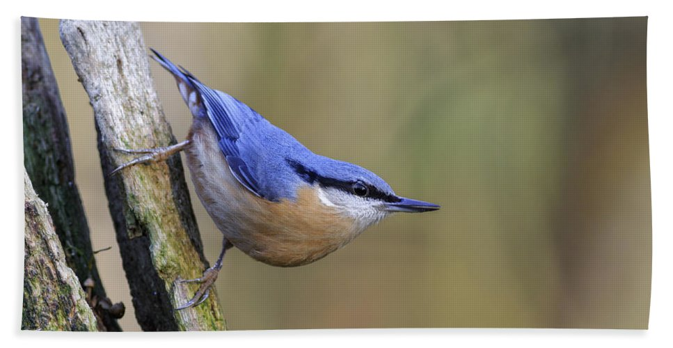 Animal Bath Sheet featuring the photograph Nuthatch -- by Chris Smith