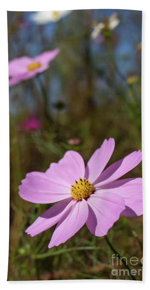 Asia Hand Towel featuring the photograph Sensation Cosmos Bipinnatus Fully Bloomed Pink Cosmos At Garde by Eiko Tsuchiya