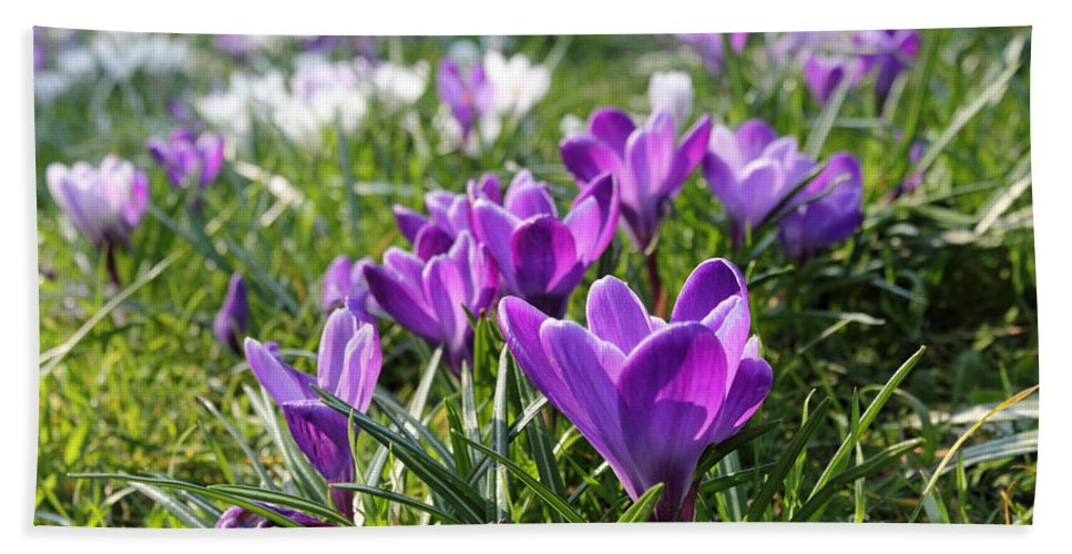 Spring Crocuses Hand Towel featuring the photograph Spring Crocuses by Julia Gavin