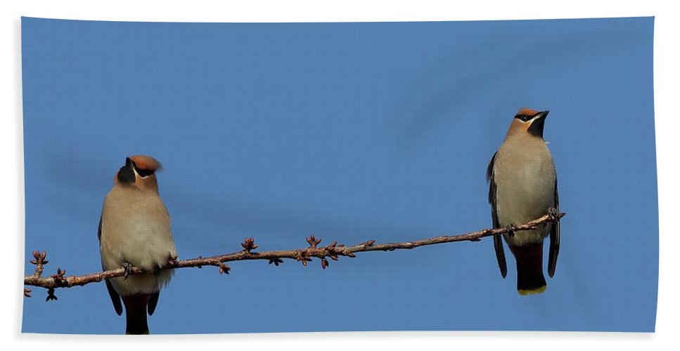Waxwing Two Perched Branch Blue Sky Hand Towel featuring the photograph 2 Waxwings by Neil Wayper