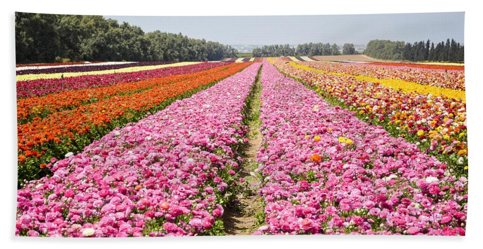 Pink Hand Towel featuring the photograph field of cultivated Buttercup by Doron Magali
