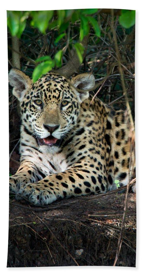 Photography Bath Sheet featuring the photograph Jaguar Panthera Onca, Pantanal by Panoramic Images