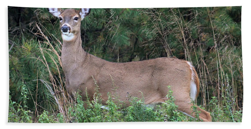 White Tail Deer Hand Towel featuring the photograph White Tailed Deer Calverton New York by Bob Savage