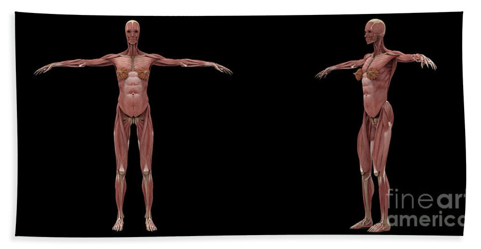 Biomedical Illustrations Bath Sheet featuring the digital art 3d Rendering Of Female Muscular System by Stocktrek Images
