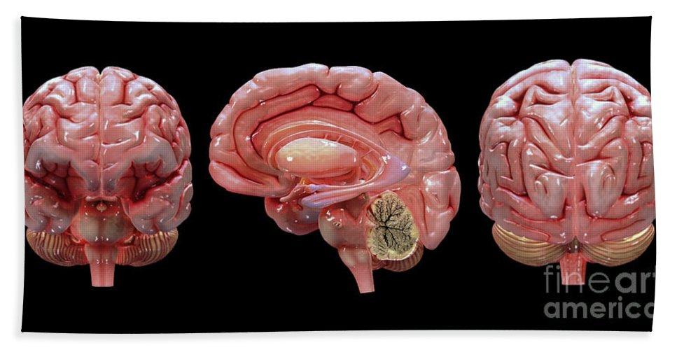 Biomedical Illustrations Bath Sheet featuring the digital art 3d Rendering Of Human Brain by Stocktrek Images