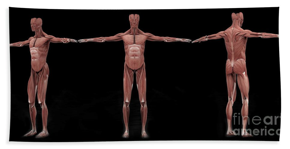 Biomedical Illustrations Bath Sheet featuring the digital art 3d Rendering Of Male Muscular System by Stocktrek Images
