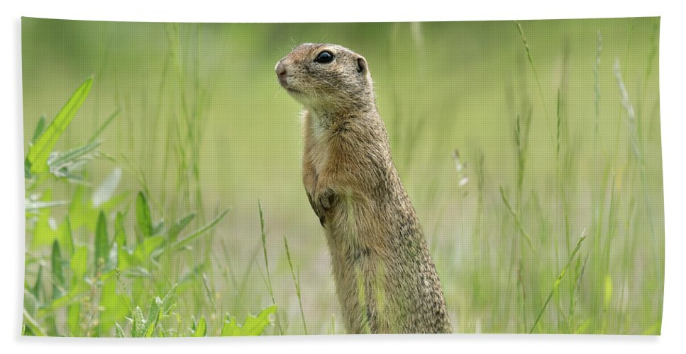 Small Bath Sheet featuring the photograph A European Ground Squirrel Standing In A Meadow In Spring by Stefan Rotter