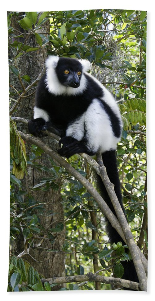 Madagascar Bath Sheet featuring the photograph Black And White Ruffed Lemur by Michele Burgess