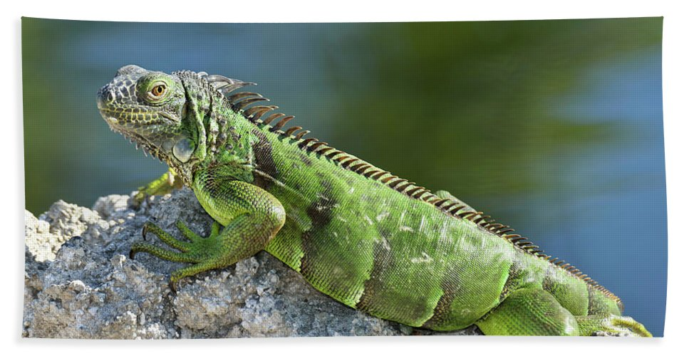 Iguana Hand Towel featuring the photograph Green Iguana by Svetlana Foote