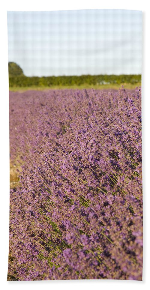 Lavender Hand Towel featuring the photograph Lavender Fields by Ian Middleton