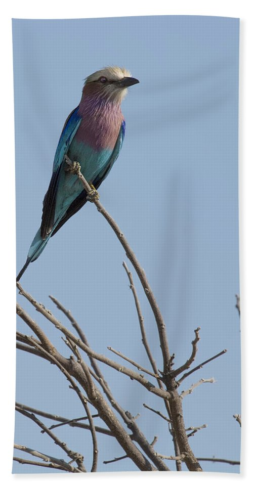 Lilac Breasted Roller Bath Sheet featuring the photograph Lilac Breasted Roller On The Hunt by Kay Brewer