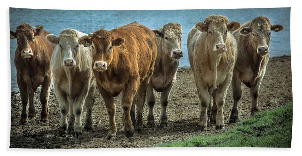Cattle Bath Sheet featuring the photograph Cows by FL collection