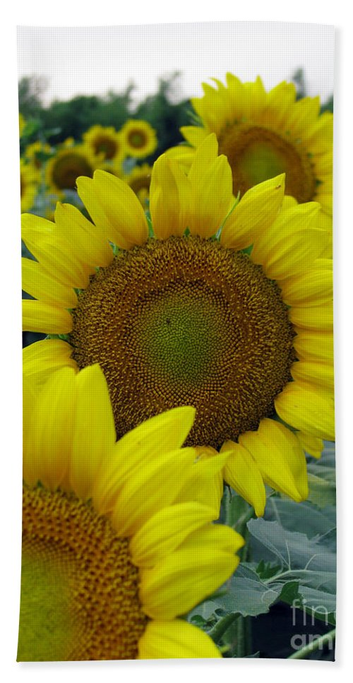 Sunflowers Bath Sheet featuring the photograph Sunflower Series by Amanda Barcon