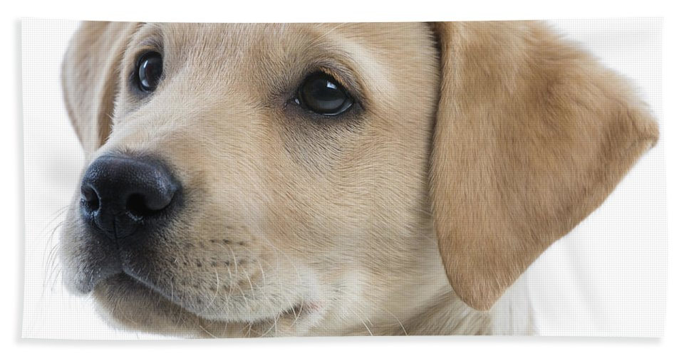 Photography Hand Towel featuring the photograph Labrador Puppy by Gunnar Orn Arnason