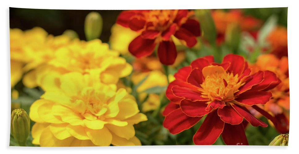 Asia Hand Towel featuring the photograph Tagetes Patula Fully Bloomed French Marigold At Garden In Octob by Eiko Tsuchiya