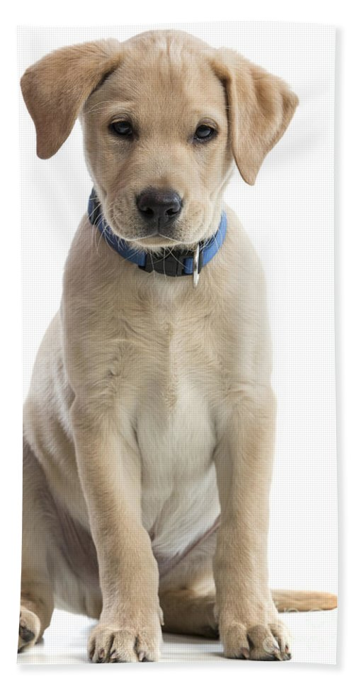 Photography Hand Towel featuring the photograph Labrador Puppy by Gunnar Orn Arnason