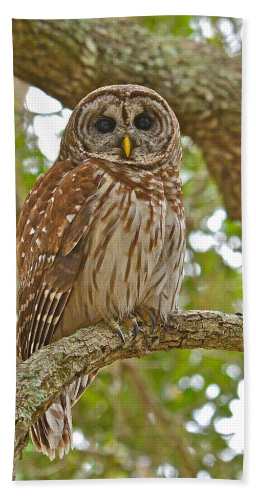 Barred Owl Hand Towel featuring the photograph A Barred Owl by Don Mercer