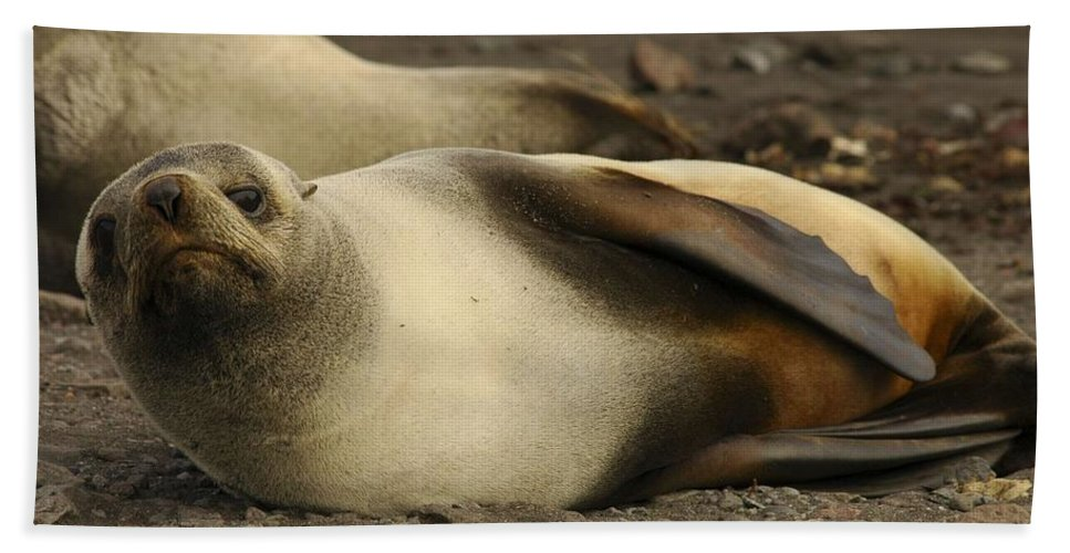 Ice Hand Towel featuring the painting A Female Antarctic Fur Seal Sunning., By Noaa by Noaa