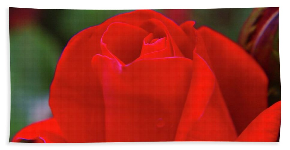 Roses Bath Sheet featuring the photograph A Red Rose Unfolding by Jeff Swan