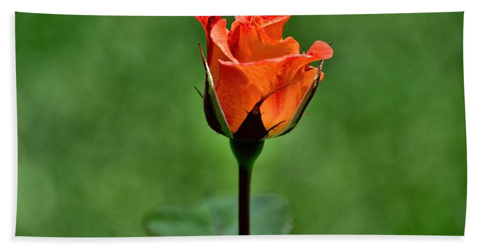Roses Hand Towel featuring the photograph A Single Rose by Diana Mary Sharpton
