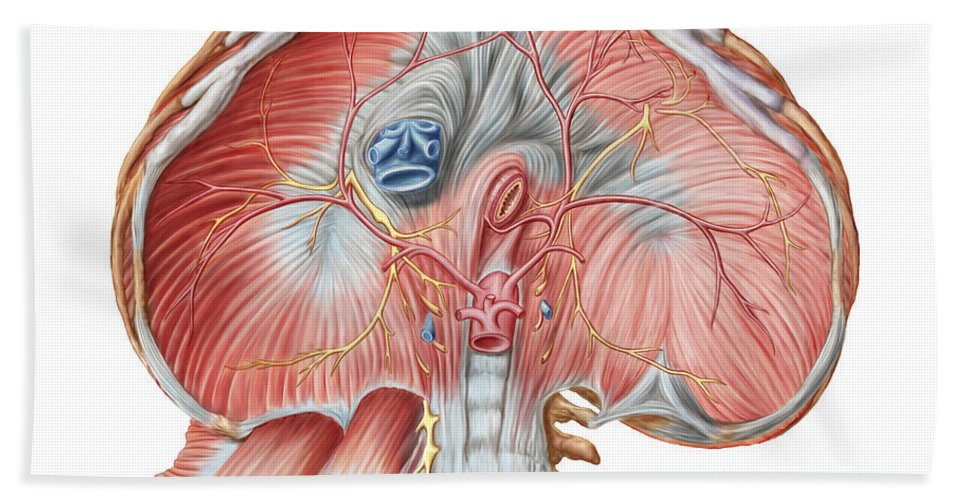 Biomedical Illustrations Bath Sheet featuring the digital art Abdominal Surface Of Diaphragm by Stocktrek Images