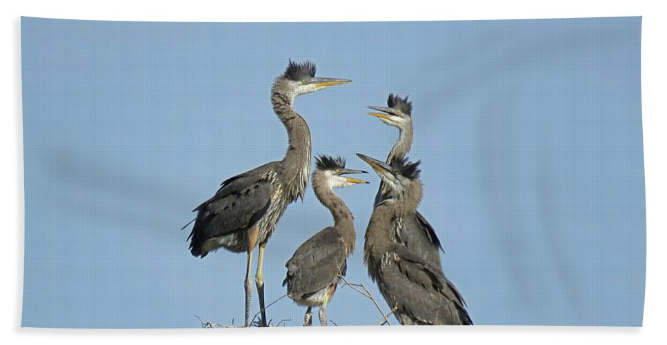 Great Blue Heron Bath Sheet featuring the photograph Adolescent Great Blue Herons by Pat Miller