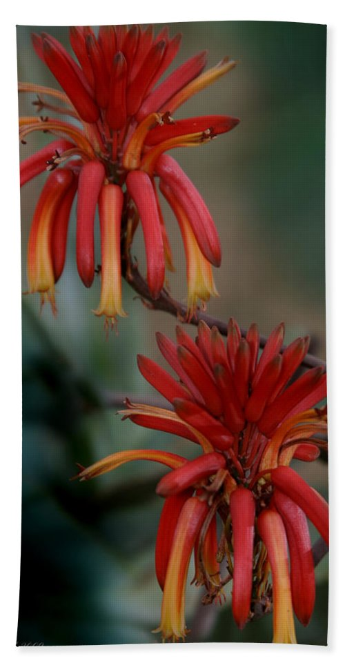 Lily Bath Towel featuring the photograph African Fire Lily by Joseph G Holland