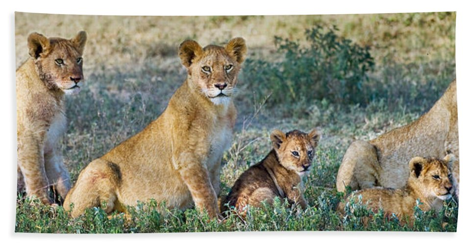 Photography Bath Sheet featuring the photograph African Lion Panthera Leo Family by Panoramic Images