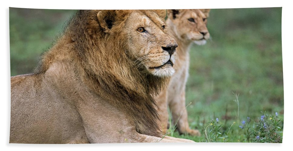 Photography Bath Sheet featuring the photograph African Lion Panthera Leo With Its Cub by Panoramic Images