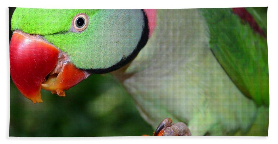 Alexandrine Parrot Hand Towel featuring the photograph Alexandrine Parrot Feeding by Ralph A Ledergerber-Photography