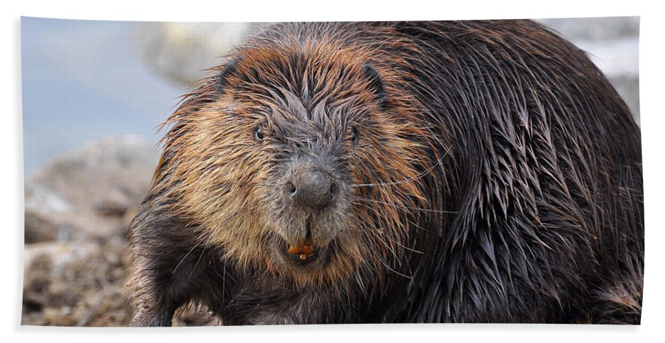 Beaver Hand Towel featuring the photograph All Smiles by Todd Hostetter