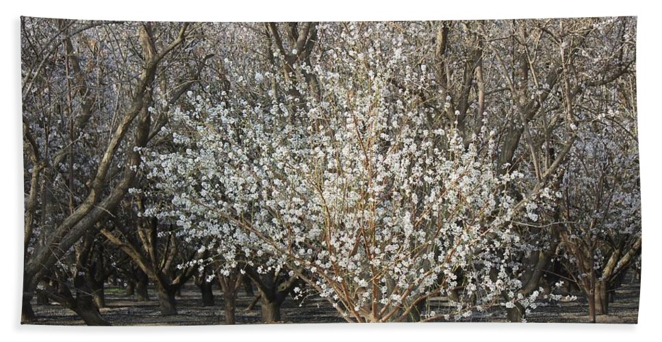 Almond Orchard Hand Towel featuring the photograph Almond Orchard 1 by Marta Robin Gaughen