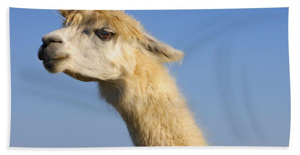 Skip Hunt Bath Towel featuring the photograph Alpaca by Skip Hunt