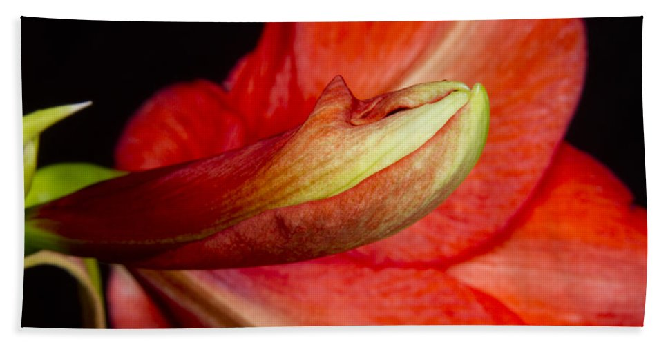 Amaryllis Hand Towel featuring the photograph Amaryllis Flower About To Bloom by James BO Insogna