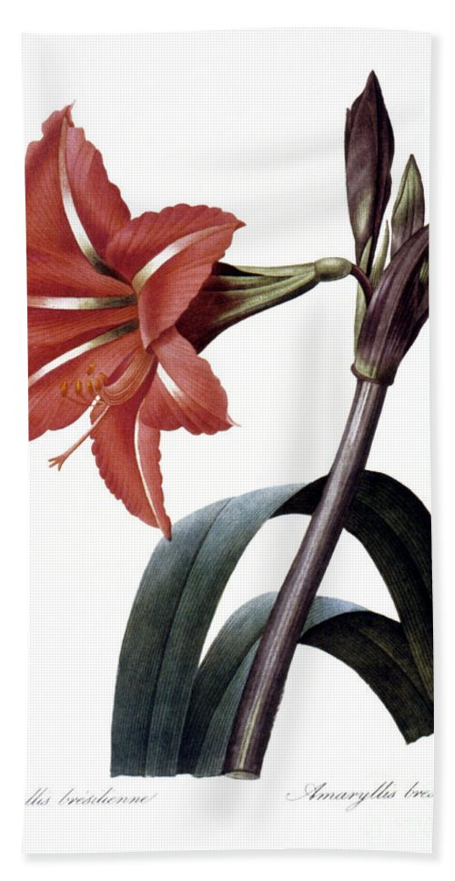 1833 Hand Towel featuring the photograph Amaryllis by Granger