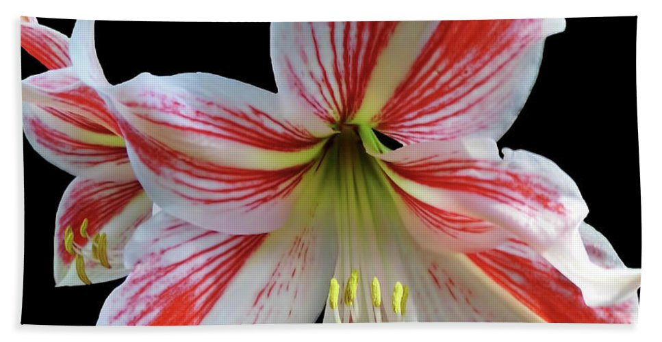 Amaryllis Hand Towel featuring the photograph Amaryllis On Black by D Hackett