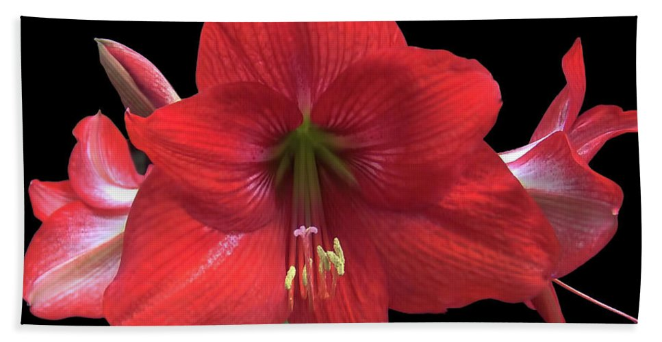 Amaryllis Hand Towel featuring the photograph Amaryllis Petal Curls by D Hackett