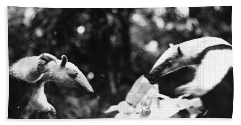 20th Century Bath Sheet featuring the photograph Amazon: Anteater by Granger