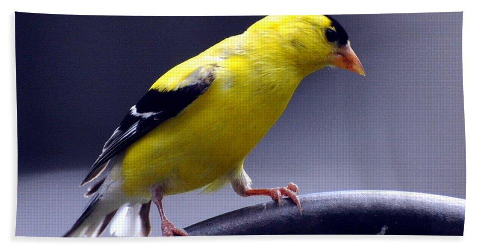 Bird Hand Towel featuring the photograph American Goldfinch by Glenn Gordon