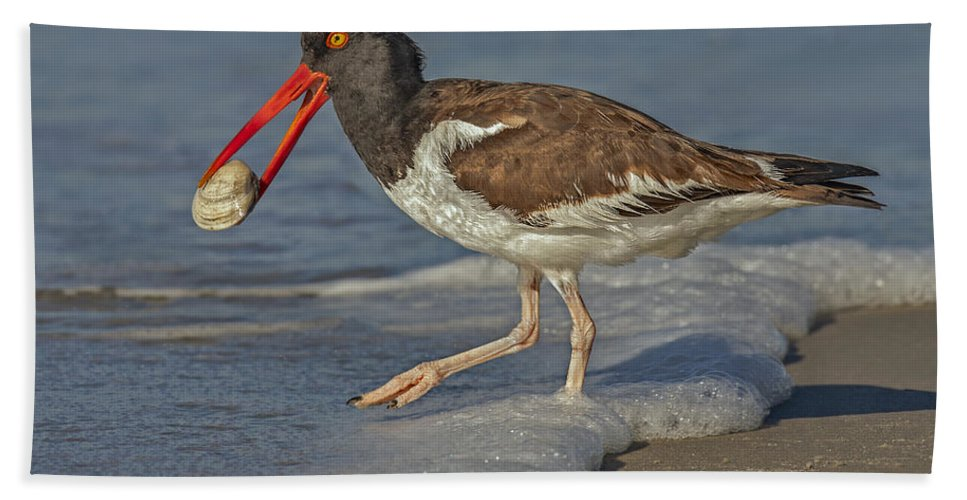 American Oystercatcher Hand Towel featuring the photograph American Oystercatcher Grabs Breakfast by Susan Candelario