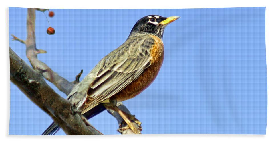 American Robin Hand Towel featuring the photograph American Robin - 1 by Nikolyn McDonald