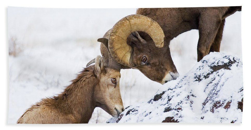 Bighorn Bath Sheet featuring the photograph An Uphill Battle by Mike Dawson