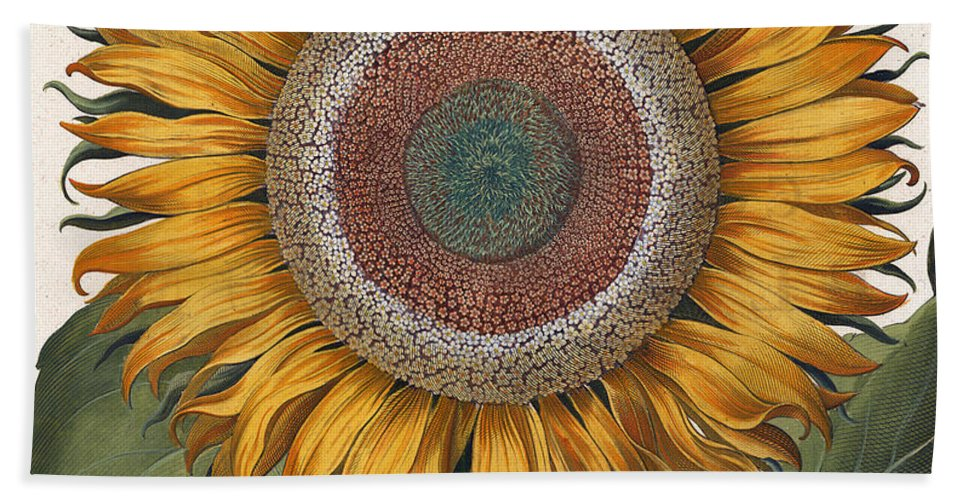 Sunflower Bath Towel featuring the painting Antique Sunflower Print by Basilius Besler
