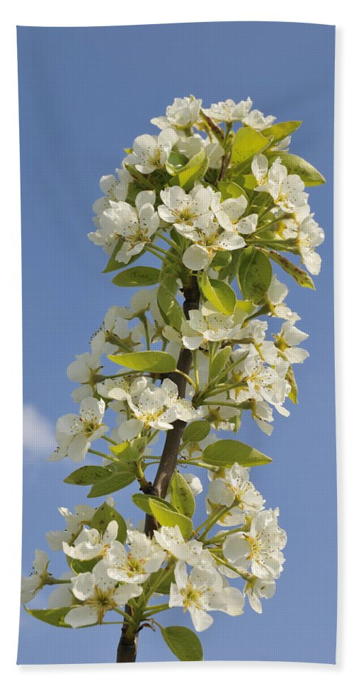 Apple Blossom Bath Sheet featuring the photograph Apple Blossom In Spring by Matthias Hauser