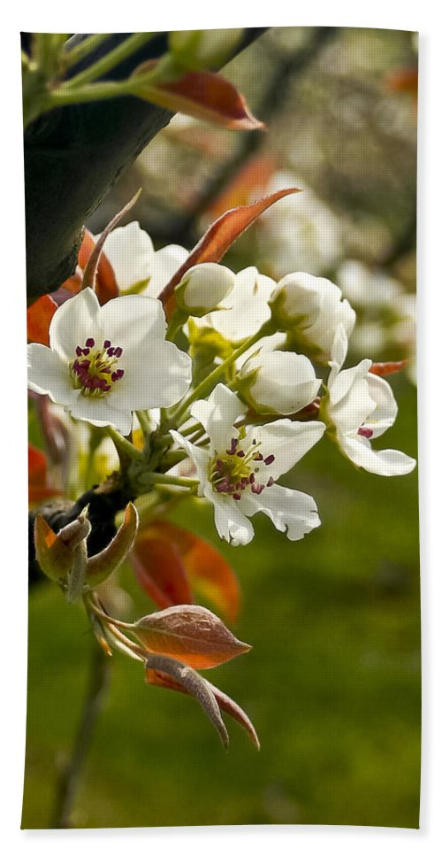 Flowers Hand Towel featuring the photograph Apple Blossoms by Albert Seger