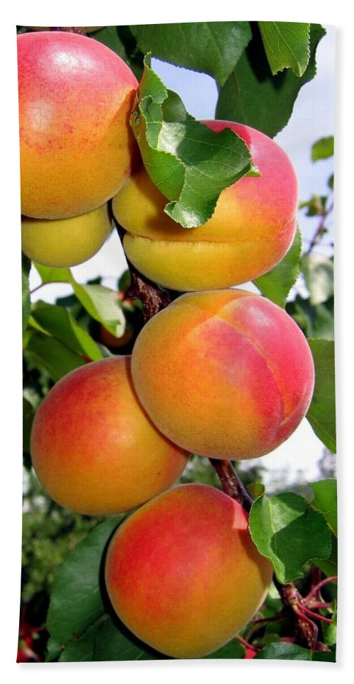 Apricots Bath Towel featuring the photograph Apricots by Will Borden