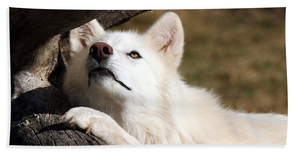 Arctic Wolf Bath Sheet featuring the photograph Arctic Curiosity by Christopher Miles Carter
