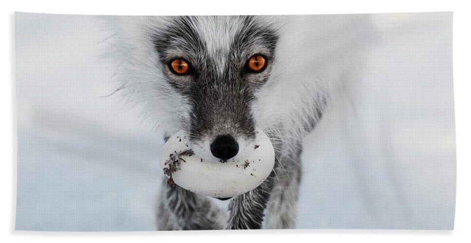 00520033 Bath Sheet featuring the photograph Arctic Fox And Snow Goose Egg by Sergey Gorskov